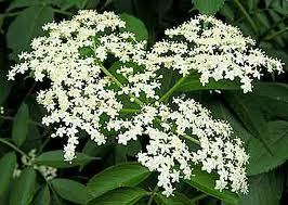 Blue Elderberry Flowers