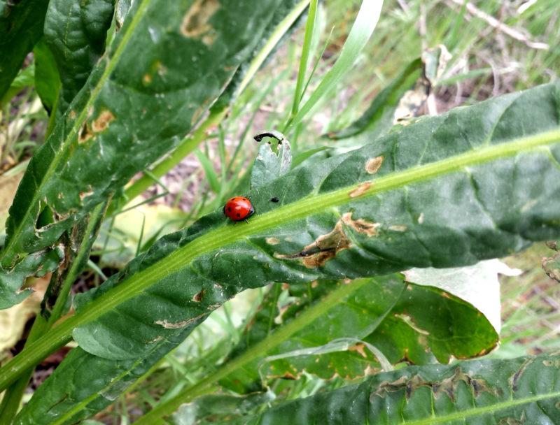Lady Bug on a Yellow Dock Leaf