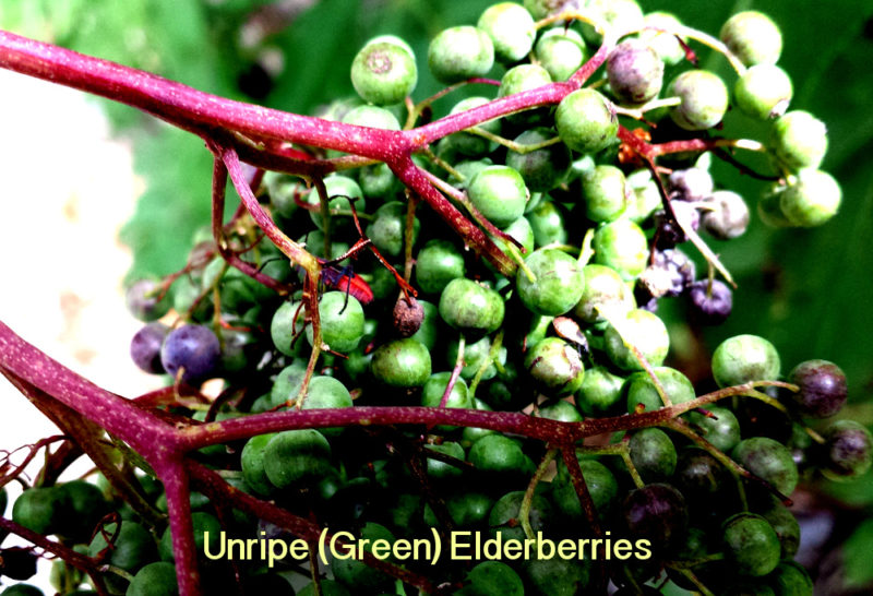 Unripe Green Elderberry Cluster
