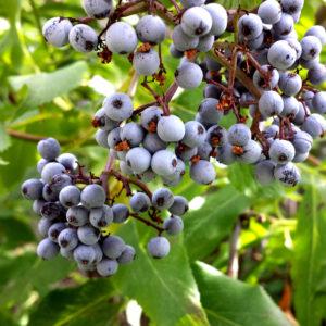 Ripe Elderberries With Yeast Coating